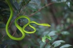 Jade Vine Snake (Ahaetulla prasina) [kalsel_0079]