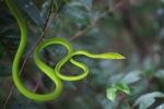Green Oriental Vine Snake (Ahaetulla prasina)