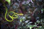Green Tree Snake (Ahaetulla prasina)
