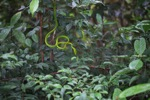 Oriental Vine Snake (Ahaetulla prasina) [kalsel_0280]