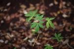 Young manioc plant [kalsel_0175]