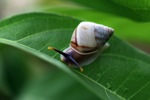 Colorful snail in Borneo [kalsel_0187]