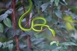 Jade Vine Snake (Ahaetulla prasina)