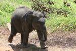 Baby Sumatran elephant [sumatra_9183]