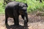 Baby Sumatran elephant [sumatra_9184]