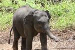 Baby Sumatran elephant [sumatra_9186]