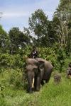 Mahout atop an Sumatran elephant [sumatra_9188]