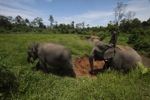 Mahout atop an Sumatran elephant [sumatra_9195]