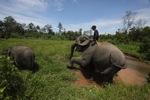 Mahout atop an Sumatran elephant [sumatra_9197]