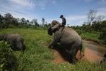 Mahout atop an Sumatran elephant [sumatra_9199]