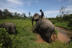 Mahout atop an Sumatran elephant [sumatra_9208]