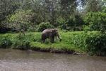 Sumatran elephant [sumatra_9218]