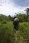 Mahout atop an Sumatran elephant [sumatra_9210]