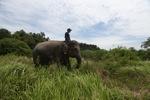 Mahout atop an Sumatran elephant [sumatra_9211]
