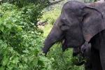 Sumatran elephant [sumatra_9222]