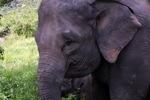 Sumatran elephant [sumatra_9220]