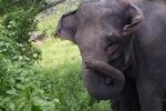 Sumatran elephant [sumatra_9223]