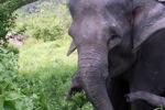 Sumatran elephant [sumatra_9203]