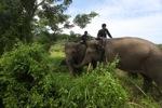 Mahouts atop Sumatran elephants [sumatra_9229]