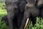 Sumatran elephants [sumatra_9227]