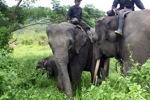 Mahouts atop Sumatran elephants