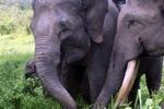 Sumatran elephants in Bukit Barisan Selatan National Park [sumatra_9237]
