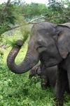 Sumatran elephants in Bukit Barisan Selatan National Park [sumatra_9240]