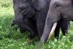 Sumatran elephants in Bukit Barisan Selatan National Park [sumatra_9241]