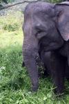 Sumatran elephants in Bukit Barisan Selatan National Park [sumatra_9257]