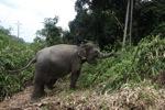 Sumatran elephants in Bukit Barisan Selatan National Park [sumatra_9267]