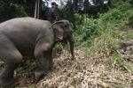 Sumatran elephants in Bukit Barisan Selatan National Park [sumatra_9243]
