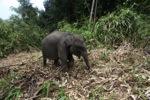 Sumatran elephants in Bukit Barisan Selatan National Park [sumatra_9281]