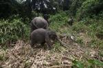 Sumatran elephants in Bukit Barisan Selatan National Park [sumatra_9285]