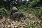 Sumatran elephants in Bukit Barisan Selatan National Park [sumatra_9287]