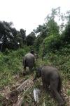 Sumatran elephants in Bukit Barisan Selatan National Park [sumatra_9292]