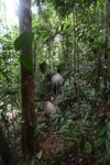 Sumatran elephants moving through the rainforest