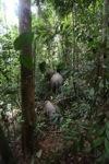 Sumatran elephants moving through the rainforest