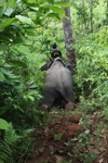 Sumatran elephant going downhill