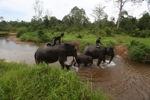 Sumatran elephants crossing a river [sumatra_9310]