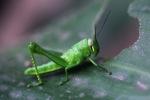 Green grasshopper [sumatra_9375]