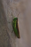Grasshopper [sumatra_9380]