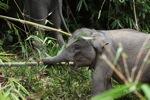 Baby Sumatran elephant