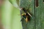 Multicolored grasshoppers mating [sumatra_9385]
