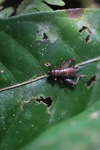 Brown cricket [sumatra_9391]