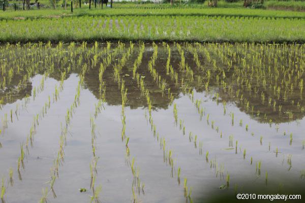 A rice field in Bali.