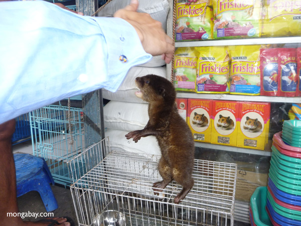 Baby otter being sold as an exotic pet in Jakarta, Indonesia. Photo by: Rhett A. Butler.