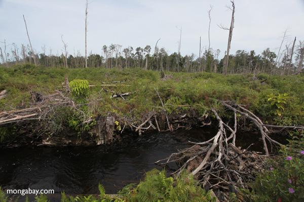 Palm oil, paper, biofuels production on peatlands drive