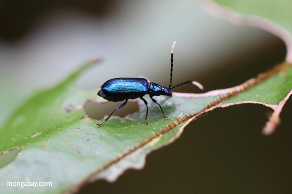 Coléoptère bleu mangeur de feuilles (sous-famille des Galerucinae) dans le Kalimantan, dans la partie indonésienne de Bornéo