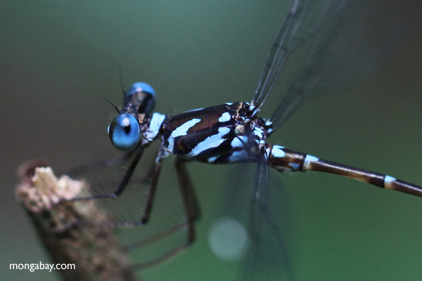 Libélula de ojos azules del Parque Nacional Gunung Palung en Kalimantan Occidental, Borneo Indonesio.