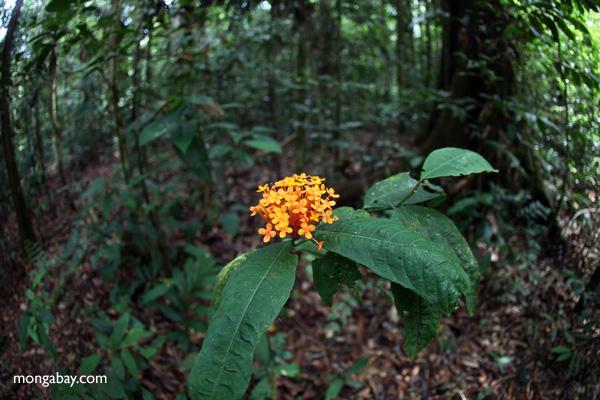 Wild Geranium in Indonesian Borneo